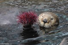 Sea Otter Eating Urchin | Sea otter Enhydra lutris – Tanu, w… | Flickr