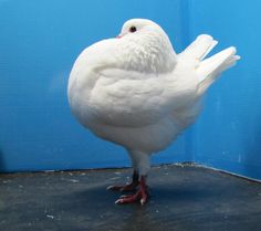 Holle Cropper ( also known as the Amsterdam Balloon Cropper) is a breed of fancy pigeons.