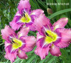 Robertas 10-pc. Select 300 Series Flower Power Daylilies