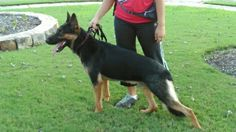 beautiful pose, stucture,color, and Gsd....Rex of Haus Beck Von Farbenspiel....from Von Quesada Gsd Kennels