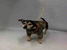 SUPER URGENT 04/06/16 Manhattan Center ST.PAUL – A1069477 NEUTERED MALE, BLACK / TAN, CHIHUAHUA LH MIX, 10 yrs STRAY – EVALUATE, HOLD FOR ID Reason STRAY Intake condition EXAM REQ Intake Date 04/05/2016, From NY 10014, DueOut Date 04/08/2016,
