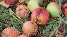 A gyümölcsfák gombabetegségei