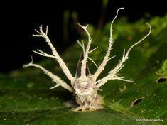 https://flic.kr/p/MHzwiu | Moth & Entomopathogenic fungus, Cordyceps sp.? | from Ecuador: www.flickr.com/andreaskay/albums