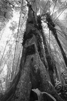 Kambira, baby grave tree in Toraja, South Sulawesi