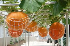 on past experience with growing pumpkins on the ground, I think this is SUCH a good idea.Based on past experience with growing pumpkins on the ground, I think this is SUCH a good idea. Hydroponic Gardening, Hydroponics, Diy Gardening, Organic Gardening, My Secret Garden, Farm Gardens, Edible Garden, Spring Garden, Dream Garden