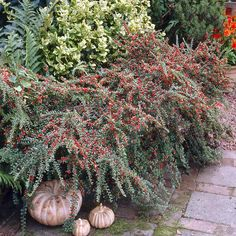 Cotoneaster horizontalis - 1 shrub Buy online order yours now