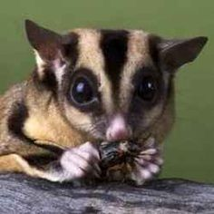 Used to have a couple sugar gliders as pets.    The habitat of a wild sugar glider is mainly in Australia and New Zealand.    A sugar...