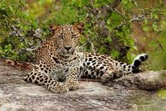 Wild Leopard, Sri Lanka  For individual tours (deutsch,english)in Sri Lanka please contact us 0094774057757 , susantha2803@gmail.com