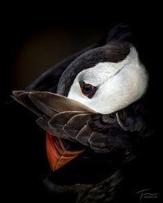 The Atlantic Puffin Bird Small Birds, Little Birds, Love Birds, Beautiful Birds, Pet Birds, Otter, Puffins Bird, Bird Pictures, Bird Watching