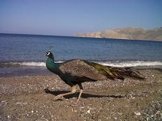 Greek Islands, Bird, Animals, Greek Isles, Animaux, Animales, Birds, Animal, Dieren