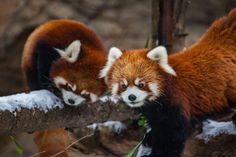 Animal Red Panda  Chicago Zoo Wallpaper