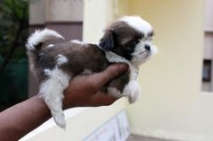 Shi Tzu puppy