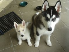 I love me some huskies. I miss the good days of mine being little. But she is the best dog ever!