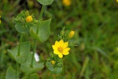 Wildflower Yellow-wort Irish Wild Flora Wildflowers of Ireland