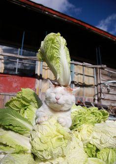 今日は白菜がお買得。奥さん 買うしかなぃのにャ♡