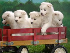 Wagonload of samoyed puppies!