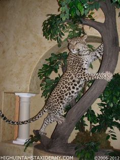 What a beautiful leopard mount!  Taxidermy trophy
