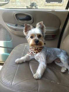 Yorkie Beautiful stylish handcrafted jewellery and accessories are available for yorkshire terrier owners! Yorshire Terrier, Silky Terrier, Boston Terrier, Chien Yorkshire Terrier, Yorkshire Terrier Haircut, Cute Puppies, Cute Dogs, Yorkie Cuts, Top Dog Breeds