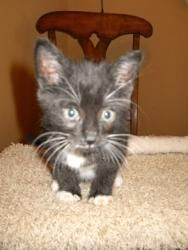The Irish Litter is an adoptable Tuxedo Cat in Jacksonville, FL. This is Shaunassey ....his brother, Shane and his sister, Shannon...have already been adopted!