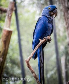 Vulnerable Macaw | by J.Holtography |  This Hyacinth Macaw (Anodorhynchus hyacinthinus) was seen in the bird aviary, in the Iguacu falls bird sanctuary. This species is classified as vulnerable, since it is a threatened species due to deforestation. Unique bird, unique colour, unique experience.