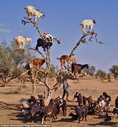 tree climbing goats Have you ever seen tree climbing goats? Apparently goats on the trees is a common thing in Morocco. Moroccan goats easily climb on the highest tops of argan trees to reach so loved fruit similar to olives Farm Animals, Animals And Pets, Funny Animals, Cute Animals With Funny Captions, Beautiful Creatures, Animals Beautiful, Animals Amazing, Baby Goats, Mini Goats