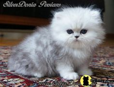 Oscar how he looked as a kitten, before he went evil.  Silver Persian kittens for sale . Award winning parents. CFA reg. Health guarantee