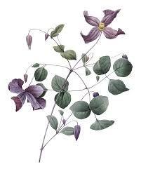 Resultado de imagem para botanic illustrations flowers