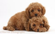 Photograph of Two cute red Toy Poodle puppies. Rights managed white background Dogs image. Toy Poodle Puppies, Poodle Mix, Lab Puppies, Cute Puppies, Cute Dogs, Basenji Puppy, Poodle Cuts, Red Poodles, Poodle Grooming