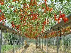 「果菜類の日本」の画像検索結果