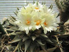 Ariocarpus retusus subsp. trigonus – Star Rock - See more at: http://worldofsucculents.com/ariocarpus-retusus-subsp-trigonus-star-rock