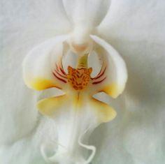 Orquídea que se parece a un Tigre