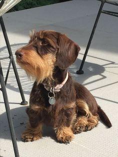 Dog Supplies, Pets : Target - Chocolate And Tan dachshund Brown Dachshund, Dapple Dachshund, Long Haired Dachshund, Funny Dachshund, Dachshund Love, Dachshund Facts, Dachshund Puppies, Cute Puppies, Pet Dogs