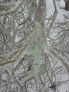Moss on crepe myrtle shows thru the ice