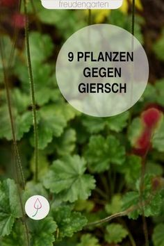 Fighting Giersch with perennials – it's very easy – Garden Projects Diy Garden Projects, Diy Pallet Projects, Gardening For Beginners, Gardening Tips, Pallets Garden, Garden Signs, Easy Garden, Greed, Amazing Gardens