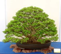 Bonsai Plants, Herbs, Bonsai, Herb, Medicinal Plants