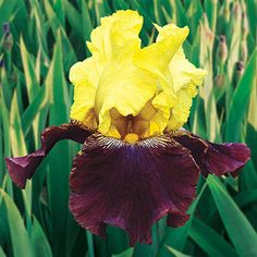 Lovely ruffled blooms have rich maroon falls and yellow standards, with exotic plicata markings and lush green foliage! A vigorous bloomer with endearing aroma.