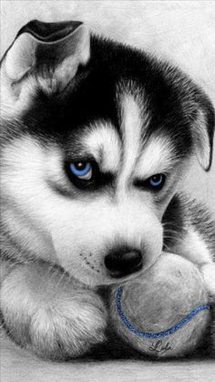 Blue Eyes Husky Puppy looking adorable