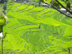 Hiking in the Himalayas in Nepal, I came across these rice fields.  I could not get over how green they were. (no photoshop done here at all)
