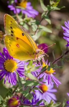 Orange Sulphur Butterfly by dolly