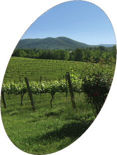 Round Peak Vineyards, 77N exit 100, Left onto NC 89 for 0.2   miles. Right onto Round Peak Church Rd for 1.4 miles, 765 Round Peak Church Road   Mount Airy, NC 27030, Open Daily   Sun–Thurs 12 pm–5 pm   Fri 12 pm–8 pm   Sat 11 am–6 pm (and until Sunset Jun–Aug)   By appt. other times   (336) 352-5595…serve other NC vineyard wines…
