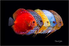 5 Discus in a line