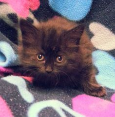 Meet Angel 20394 a Petfinder adoptable Domestic Long Hair Cat | Prattville, AL | Angel is an 11 week old female kitten.Dogs and puppies may be adopted for a fee of $120. All cats...