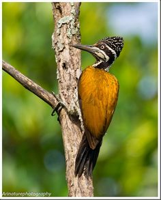 Here's the Greater Flameback Woodpecker - Love that ochre color and the texture of the head
