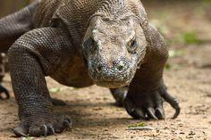 Empiezo a sospechar que lo que me rondaba la cabeza era un dragón de Komodo... los vi en el zoo hace bastante años...