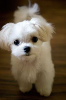 Maltese and Children: Is It a Good Combination - Champion Dogs Cute Puppies, Cute Dogs, Dogs And Puppies, Doggies, Maltese Haircut, Baby Animals, Cute Animals, Maltese Dogs, Teacup Maltese