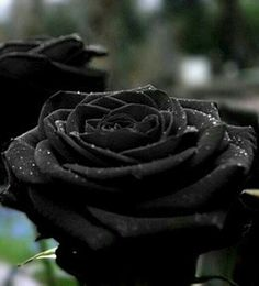 """ Black Rose .. """