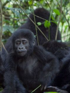 Kongo: Gorily a výstup na aktívnu sopku. Zimbabwe, Monkey, Safari, Animals, Animales, Playsuit, Animaux, Monkeys, Animais