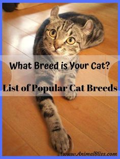 List of Popular Cat Breeds: What Breed is Your Cat? Check out this list of popular cat breeds. Cats having various features of several different breeds are typically referred to as mixed-breed. Large Cat Breeds, Popular Cat Breeds, Best Cat Breeds, Ragdoll Cat Breed, Kitten Breeds, American Curl Kittens, Pedigree Cats, Domestic Cat Breeds, Exotic Cats