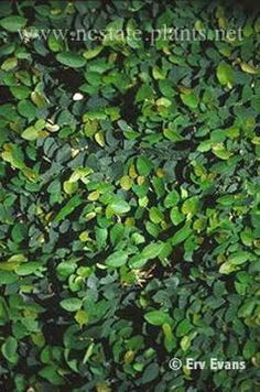 Vines: Ficus pumila for the front gate
