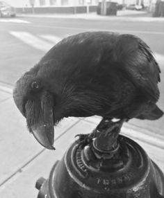 Love Them... Raven And Wolf, Quoth The Raven, Dark Wings, Raven Art, Jackdaw, Australian Birds, Crows Ravens, Blackbirds, Love Birds